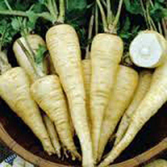 Parsnip, All American Parsnip seeds, Heirloom, Organic, NON-GMO Seeds, Parsnip Seeds - Country Creek LLC