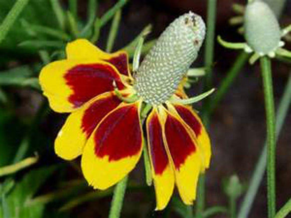 Mexican Hat, YELLOW Mexican Hat Flower Seed, Organic, 50+ seeeds per package. - Country Creek LLC