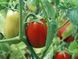 TOMATO, ITALIAN ROMA, HEIRLOOM, ORGANIC 100 SEEDS, DELICIOUS RED TASTY FRUIT - Country Creek LLC