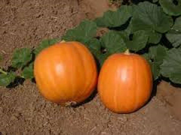 Pumpkin Seeds  , Jack O Lantern Pumpkin seeds , Heirloom, Organic, NON-GMO SEEDS - Country Creek LLC