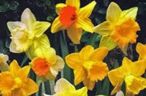 DAFFODIL, BULB , TRUMPET MIX, PERENNIAL DAFFODILS, BULBS, STUNNING BRIGHT FLOWERS - Country Creek LLC