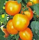 TOMATO, JUBILEE, HEIRLOOM, ORGANIC 100 SEEDS, DELICIOUSLY SWEET YELLOW FRUIT - Country Creek LLC