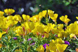 Evening Primrose Seeds Organic Newly Harvested, Beautiful Yellow Flowers - Country Creek LLC