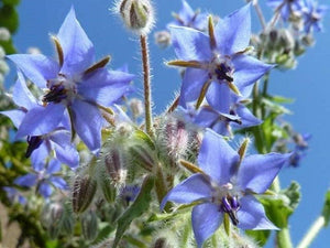 Borage Herb Seeds - Non-GMO - an Open-pollinated herb Variety That Produces Cucumber-Flavored Leaves. - Country Creek LLC