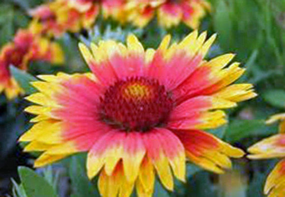 Gaillardia Blanket Flower ,Seeds  Seeds Organic, Beautiful Bright Large Cut Flower - Country Creek LLC