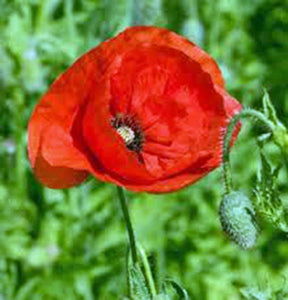 Poppy, Flanders, 500+ Seeds, Organic, Stunning Bright Red Flower, Great Poppies - Country Creek LLC