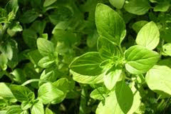 OREGANO SEEDS ITALIAN OREGANO HERB SEEDS, HEIRLOOM, ORGANIC, NON-GMO SEEDS, HEALTHY DELICIOUS HERB - Country Creek LLC