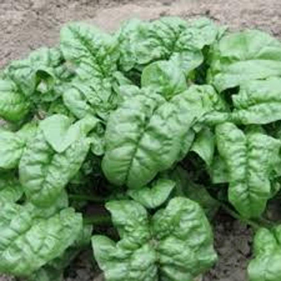 Spinach, Giant Nobel Spinach seeds, Heirloom, Organic, NON-GMO Seeds, Salad Spinach - Country Creek LLC