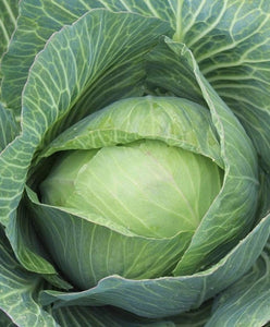 Late Flat Dutch Cabbage Seed, Heirloom, Non GMO Seed Tasty Healthy Veggie - Country Creek LLC