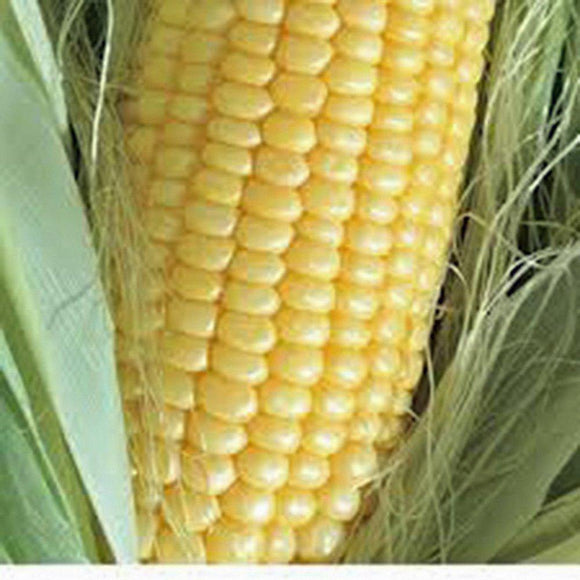 CORN SEEDS, GOLDEN BANTAM, HEIRLOOM, NON-GMO, ORGANIC , DELICIOUS AND SWEET VEGGIE - Country Creek LLC
