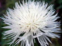 Bachelor Button, Tall White Seeds, Organic, 100 seeds, Beautiful White colored Blooms. - Country Creek LLC