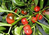 PEPPER, LARGE HOT CHERRY , HEIRLOOM, ORGANIC SEEDS, GREAT FRESH N COOKED - Country Creek LLC