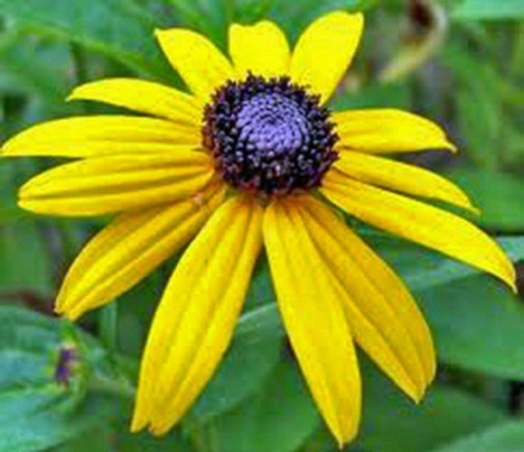 Black Eyed Susan Seeds Organic, Beautiful Vivid Bright Colorful Flowers - Country Creek LLC