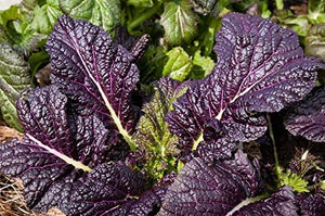 Osaka Purple Mustard Green Seeds - Non-GMO - Thick, Tender Leaves That are Succulent and Finely-Flavored. - Country Creek LLC