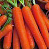 Carrot, Scarlet Nantes, Heirloom, Organic NON GMO Seeds, Tasty Carrot for Snacks - Country Creek LLC