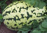 WATERMELON, KLONDIKE STRIPED BLUE RIBBON, HEIRLOOM, ORGANIC 100 SEEDS, SWEETEST - Country Creek LLC