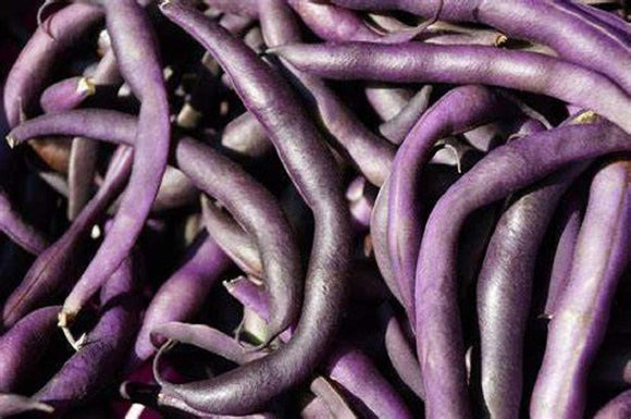 Royal Burgundy Bush Bean Seeds - 25 Count Seed Pack - Non-GMO - Eye-catching and Quick to Pick, These Beans are a Great Addition to Any Garden. - Country Creek LLC