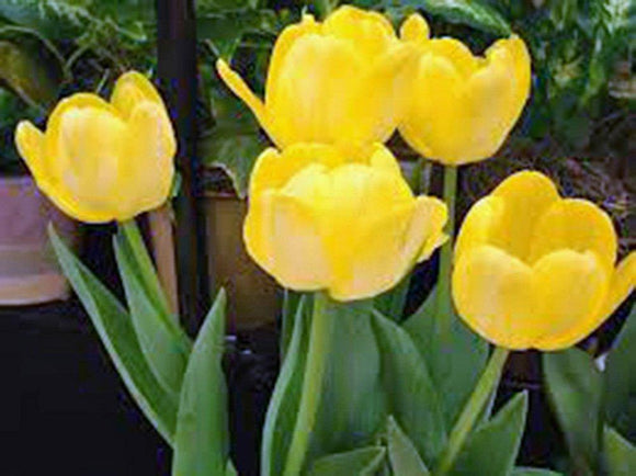 Bulb, Tulip, Sunny Yellow, (5 Pack) Bright Yellow Perennial Tulip Bulbs, Yellow Flowers - Country Creek LLC
