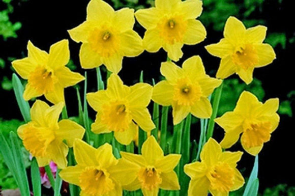 Daffodil,Carlton Daffodil , Stunning Blooms with Deep Golden Yellow Petals - Country Creek LLC