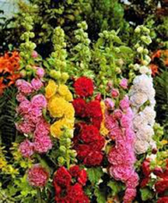 HOLLYHOCK, PINK, RED & YELLOW SEEDS ORGANIC HEIRLOOM,BEAUTIFUL TALL CLUSTERS - Country Creek LLC