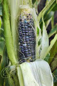 CORN, BLUE HOPI,  HEIRLOOM, ORGANIC 20+ SEEDS, GREAT FOR MAKING BLUE CORN FLOUR