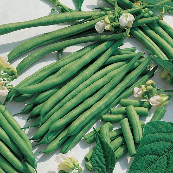 Kentucky Blue Pole Bean Seeds, Country Creek Acres Brand, Non-GMO Seeds - Country Creek LLC