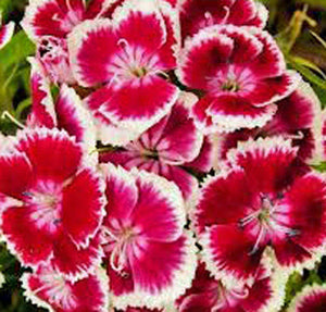 Sweet William Flowers 100+ Seeds Organic, Beautiful Clusters - Country Creek LLC