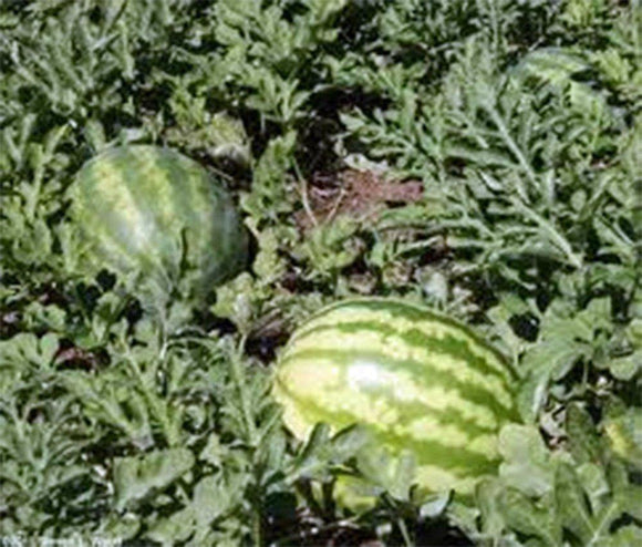 Watermelon Garden Collection, Heirloom, Organic Seeds, 4 Top Varieties - Country Creek LLC