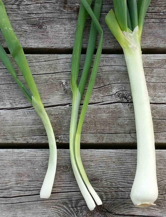 Nebuka Evergreen Bunching Onion Seeds - Non-GMO - A Hardy and Cold Resistant That is Great in stir frys, soups, or in soups. - Country Creek LLC