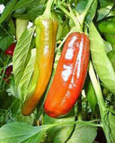 PEPPER, ANAHEIM, HEIRLOOM, ORGANIC NON-GMO SEEDS, MILDLY SPICY GREAT FRESH OR DRIED - Country Creek LLC