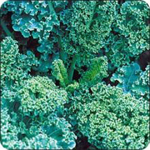 KALE SEED  , VATES BLUE CURLED SCOTCH KALE SEEDS, SEEDS PER PACKAGE, ORGANIC , NON GMO, DELICIOUS IN SALADS - Country Creek LLC