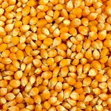 Yellow Popcorn Seed for Growing Heirloom OP Open Pollinated Non-GMO Garden Seed by Country Creek Acres - Country Creek LLC