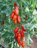 TOMATO, SAN MARZANO, HEIRLOOM, ORGANIC, 500 SEEDS, TOMATO SEEDS, CLASSIC TOMATO - Country Creek LLC