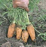 CARROT, DANVERS HALF LONG, HEIRLOOM, ORGANIC NON GMO SEEDS, TASTY CARROT FOR SALADS - Country Creek LLC