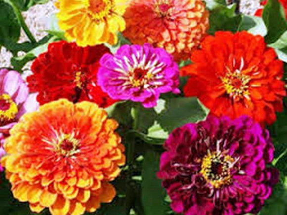 California Giant Zinnia Flower seeds Seeds Organic, Beautiful Bright Crisp Colors - Country Creek LLC