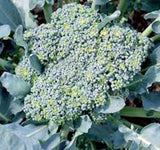 Broccoli Seed, Green Sprouting Calabrese, Heirloom, Organic, NON GMO Seeds, a Garden Delight, Broccoli Seeds - Country Creek LLC