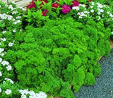 Parsley, Triple Curled Parsley seeds, Heirloom, Organic, NON-GMO Seeds, Parsley Seeds, Heirloom, Organic, Non Gmo,parsley Seeds - Country Creek LLC
