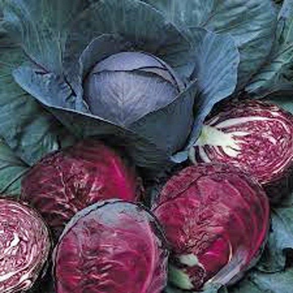 Cabbage Seeds , Red Acre , Organic, NON-GMO SEEDS, This hardy, healthy and delicious crop is easy to grow and ideal for small and large gardens. - Country Creek LLC
