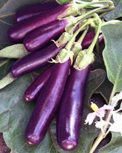 Eggplant , Long Purple Eggplant seeds, Heirloom, Organic, Non Gmo, 25 seeds, Garden Seed, Long Purple, Heirloom, Organic, Non Gmo, 25+seeds, Garden Seed - Country Creek LLC