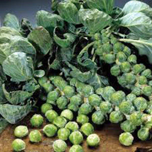 Brussel Sprouts Seed, Long Island, Heirloom, Organic, NON GMO Seeds, a Garden Delight - Country Creek LLC
