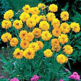 Coreopsis, Lanceleaf Flower Seeds,100 seeds Beautiful Golden-yellow Blooms. - Country Creek LLC