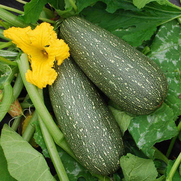 Zucchini , Grey Zucchini Squash, 25 seeds per pack, Organic, NON GMO,has been a favorite of vegetable gardeners since the 1950's. - Country Creek LLC