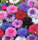 Bachelor Button Seeds, Dwarf Polka Dot Mix Seeds, Organic, seeds, Beautiful Bright Multi colored Blooms. - Country Creek LLC