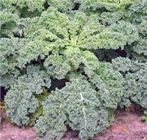 KALE, DWARF SIBERIAN, ORGANIC 100 SEEDS, NON-GMO, GREAT FOR SALADS, STIR FRY - Country Creek LLC