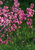 Catchfly Flower Seeds,   Beautiful, Crimson-rose/Pink  Blooms . - Country Creek LLC