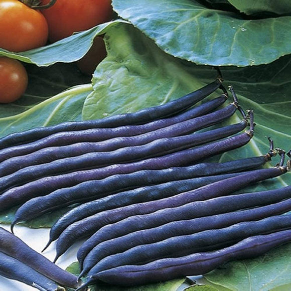 Purple Queen Bush Bean Seeds - Upright, Compact, and Bushy, This Variety is Easy to Grow and Pick. - Country Creek LLC