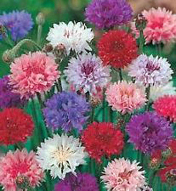 Bachelor Button Seeds , Tall Mix Seeds, Organic, seeds, Beautiful Bright Multi colored Blooms. - Country Creek LLC