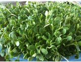 Leafy Garden Sprouting Mix- Perfect Mix of Clover, Arugula, Radish and Fenugreek Sprouting Seeds- Country Creek LLC- Microgreen Seeds for Sprouting Sprouts - Country Creek LLC