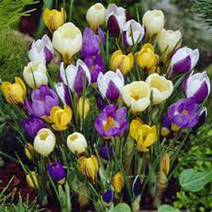 Crocus Bulbs , Crocus Species Mix  Purple, White, Yellow Perennial Bulb Mix. - Country Creek LLC