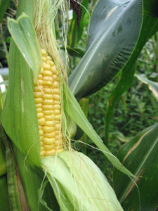 CORN SEED , ASHWORTH SWEET YELLOW CORN , HEIRLOOM, ORGANIC NON GMO SEEDS, DELICIOUS AND SWEET KERNELS - Country Creek LLC
